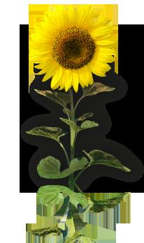 Десикація соняшнику