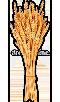 Десикація зернових